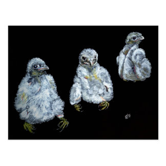 Three Peregrine Chicks Postcard