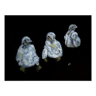 Three Peregrine Chicks Poster