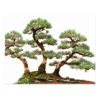 three pine bonsai trees postcard