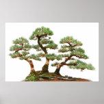 three pine bonsai trees poster