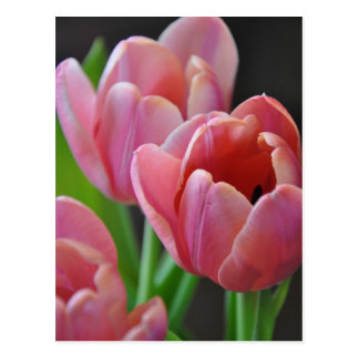 Three Pink Tulips Postcard