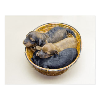 three puppies basket postcard