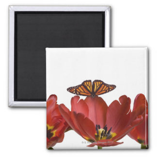 Three red tulips and a monarch butterfly against square magnet