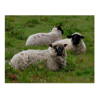 Three Sheep Postcard