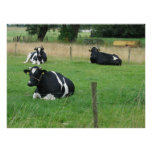 Three Sitting Cows Photo Poster