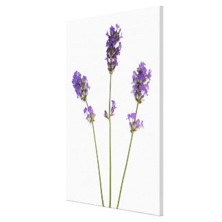 Three stems of English purple lavender flowers, Canvas Print