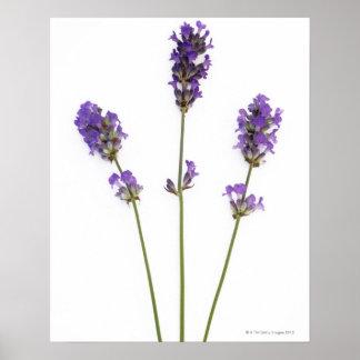 Three stems of English purple lavender flowers, Poster