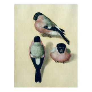 Three studies of a bullfinch post card