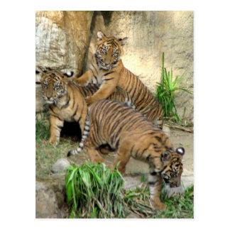 Three Tiger Cubs Post Cards