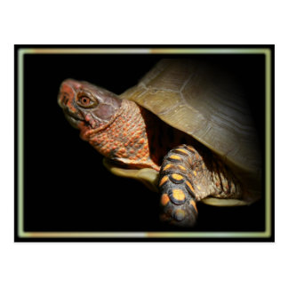 Three-toed Box Turtle Postcard. Postcard