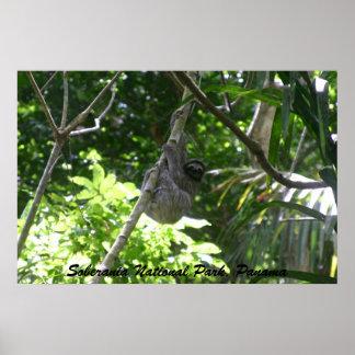 Three-toed Sloth, Soberania National Park, Panama Poster