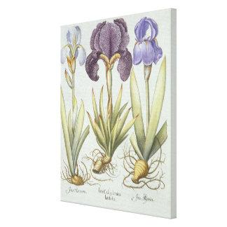 Three Varieties of Rhizomatous Beardless Irises Canvas Print