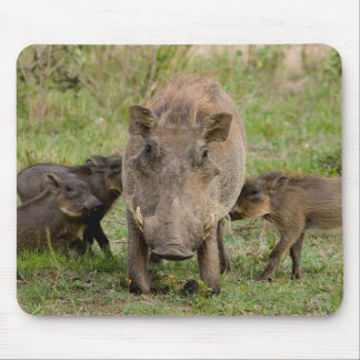Three Warthog Piglets Suckle On Their Mother Mouse Mat