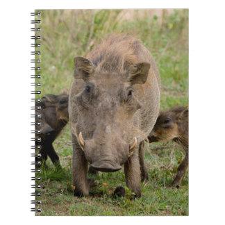 Three Warthog Piglets Suckle On Their Mother Notebooks