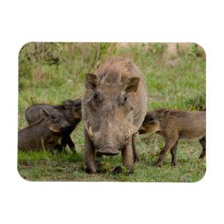 Three Warthog Piglets Suckle On Their Mother Vinyl Magnets