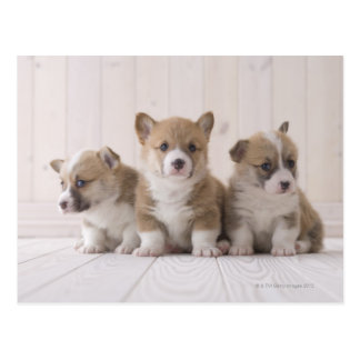Three Welsh Corgi Postcard