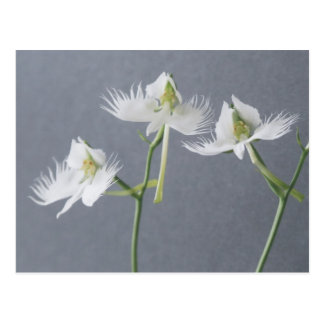 Three White Egret Orchids Postcard