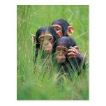 Three young Chimpanzees (Pan troglodytes) in Post Cards