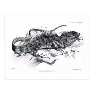 Tiaris tuberculatus post card