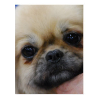 Tibetan Spaniel Puppy Postcard