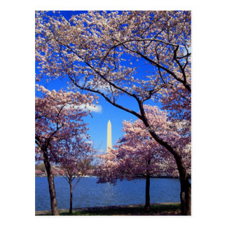 Tidal Basin Cherry Blossoms Postcard