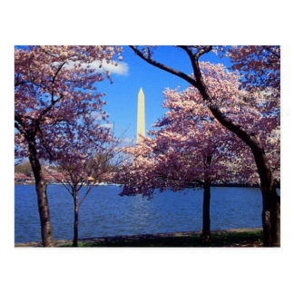 Tidal Basin Cherry Blossoms Postcard