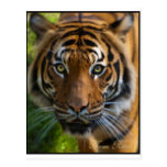 tiger2 post card