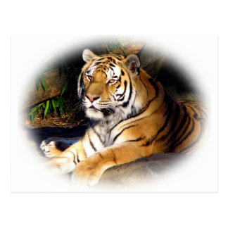 Tiger_1151 Post Cards