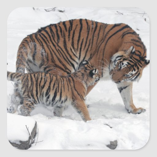Tiger and cub in snow beautiful photo, gift square stickers