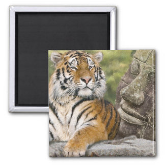 Tiger and the Buddha Fridge Magnet