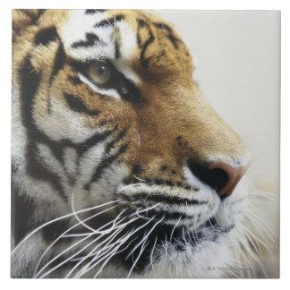 Tiger. Asahiyama Zoo, Hokkaido, Japan Tile