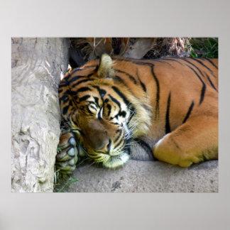 Tiger Asleep Poster