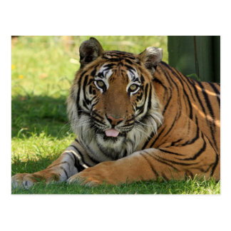Tiger Being Silly Postcard