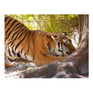 Tiger Bengali 001 Postcard