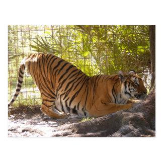 Tiger Bengali 002 Postcard