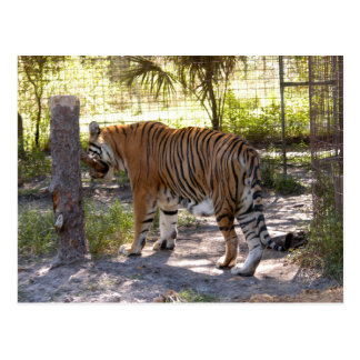Tiger Bengali 005 Post Card