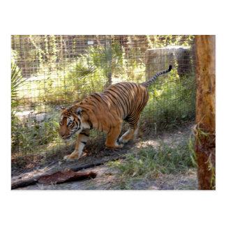 Tiger Bengali 006 Postcard