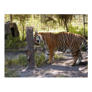 Tiger Bengali 008 Postcard