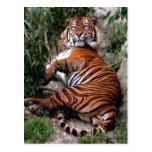 Tiger Big Cat prints  Post Cards