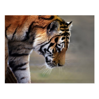 Tiger Climbing Down Postcard