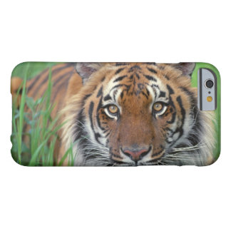 Tiger Close-Up of head Barely There iPhone 6 Case