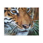 Tiger close up stretched canvas prints
