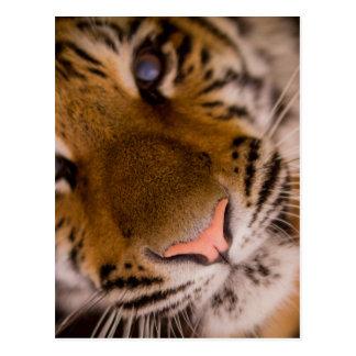 Tiger Close-Up View Postcard