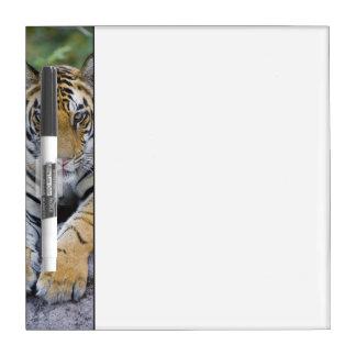 Tiger cub, Bandhavgarh National Park, India Dry Erase Board