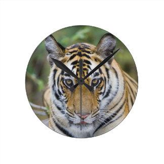 Tiger cub, Bandhavgarh National Park, India Round Clock
