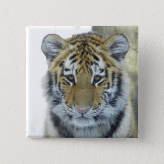 Tiger Cub In Snow Close Up Portrait 15 Cm Square Badge