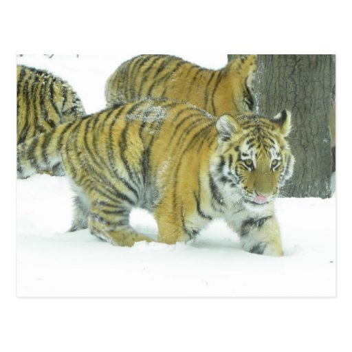 Tiger Cub In Snow Licking Lips Postcard