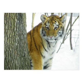 Tiger Cub In Snow Peeking Around Tree Post Card