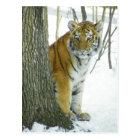 Tiger Cub In Snow Peeking Around Tree Postcard