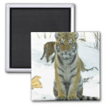 Tiger Cub In Snow Portrait Square Magnet